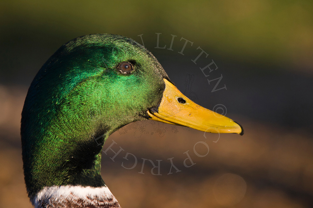 Mallard Duck (Anas platyrhynchos) adult male, close-up of head, England