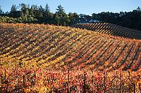 Dry Creek Valley Vineyard Fall Colors, Geyserville, California