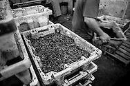 Worms are harvested at Silver Bait, a worm farm owned and operated by Bruno Durant in Coalmont, Tennessee. Bruno and his wife, Veronique, both natives of France, moved to southern Tennessee in 2004 to start the farm.