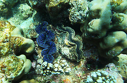 A pair of Giant clams on Mermaid Reef at the Rowley Shoals.