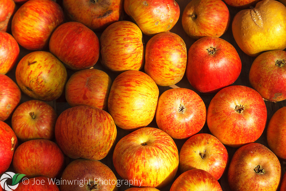 A box of apples, freshly picked on an October afternoon.