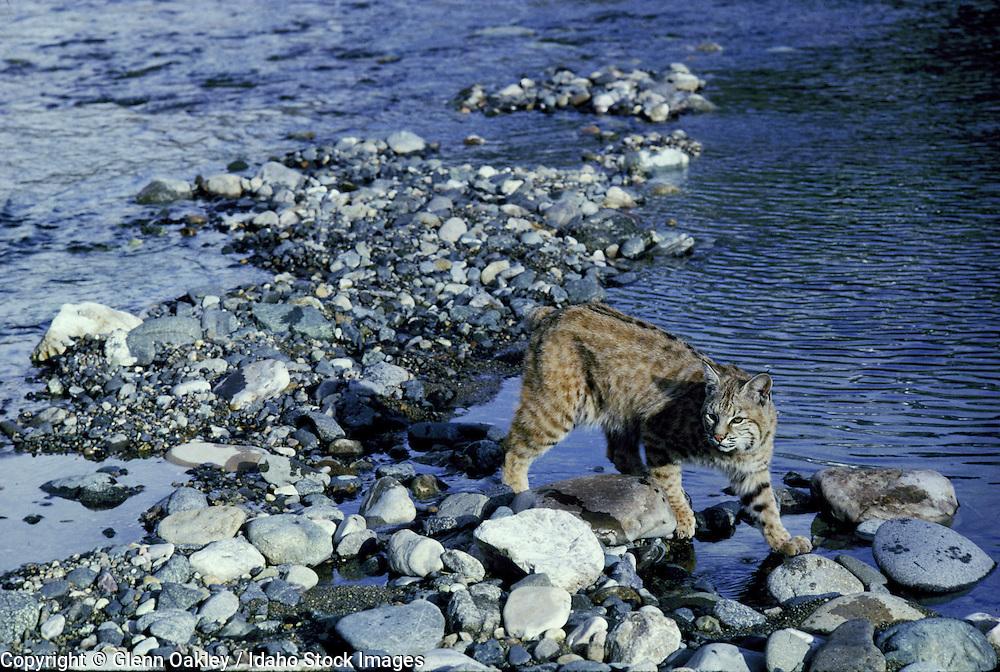 Bobcat, River of No Return Wilderness, Idaho.