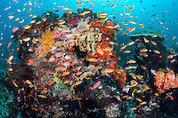 Intensely colored Anthias feed in the current on a soft coral and sponge encrusted coral bommie.<br /> <br /> Shot in Indonesia