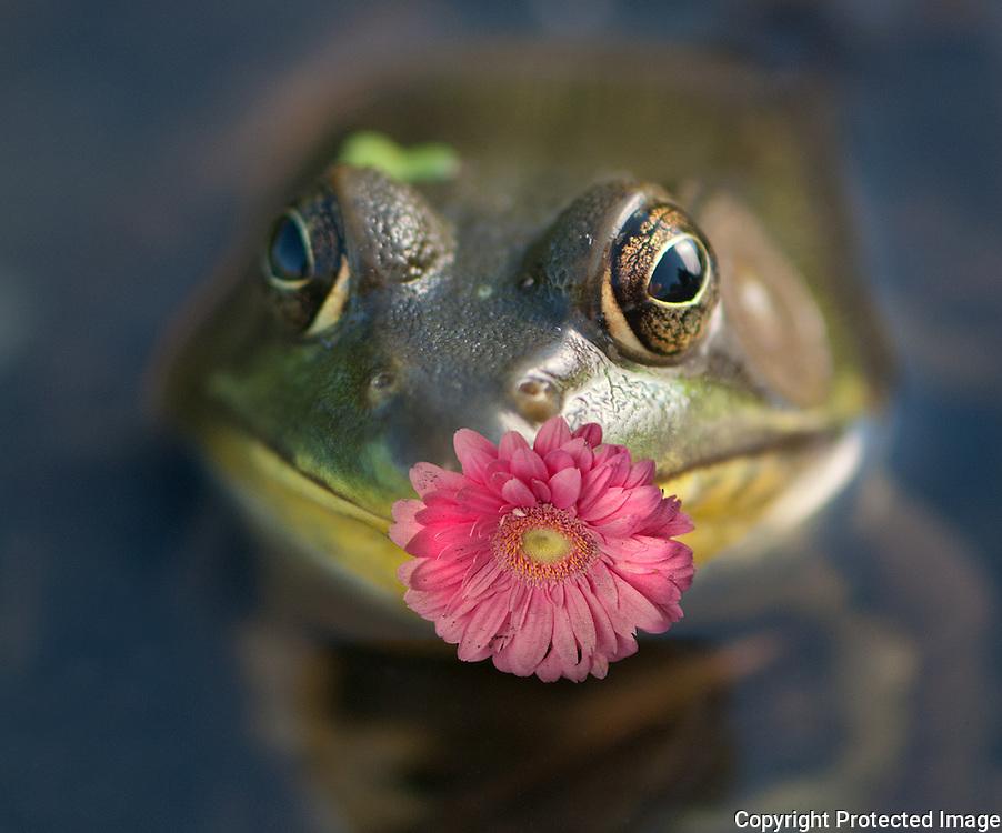 Frog with Gerbera