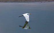 Great egret, Agra, Uttar Pradesh, India