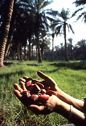 Dates from date palm plantation, Eastern Province, Saudi Arabia.