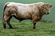 02/11/04 - BOURBONNAIS - ALLIER - FRANCE - Charolais en bourbonnais - Photo  Jerome CHABANNE