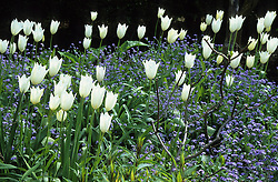 Tulipa 'White Triumphator' and forget-me-nots in the Long Border at Great Dixter in spring