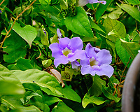 Thunbergia grandiflora (Bengal clockvine, Bengal trumpet, blue skyflower, blue thunbergia, blue trumpetvine, clockvine, skyflower). Image taken with a Fuji X-T3 camera and 80 mm f/2.8 macro lens
