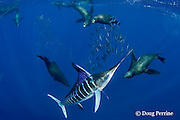 striped marlin, Kajikia audax (formerly Tetrapturus audax ), and California sea lions, Zalophus californianus, feeding on baitball of sardines, or pilchards, Sardinops sagax, off Baja California, Mexico ( Eastern Pacific Ocean )