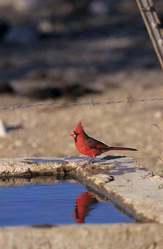 Cardinal, (Richmondena cardinalis) Male. Texas.
