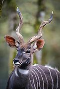 An adult male lesser kudu (Tragelaphus imberbis). Native range: Ethiopia. Captive.