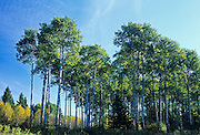 Trembling aspen (Populus tremuloides) trees in aspen parkland<br /> Riding Mountain National Park<br /> Manitoba<br /> Canada