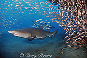 sand tiger sharks, Carcharias taurus, wreck of the Papoose, N. Carolina, United States ( Western Atlantic Ocean )