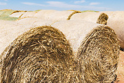 Rows of round hay bales on a farm after harvest  in rural Gerahmin, Victoria, Australia <br />