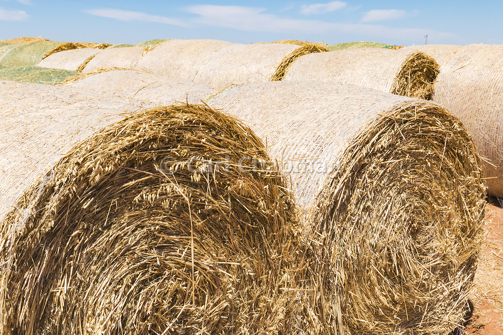 Rows of round hay bales on a farm after harvest  in rural Gerahmin, Victoria, Australia