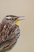 Meadowlark image captured in Colorado.  The yellow breast with the black V is used to attract mates.