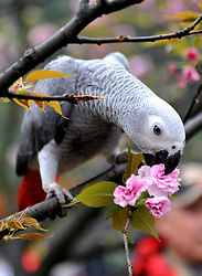 a bird on a cherry tree at the Xishan Park in Guilin City, southwest China s Guangxi Zhuang Autonomous Region, March 16, 2013. More than 70 cages of birds were displayed for the tourists to view at a cherry forest here Saturday, March 16, 2013.. Photo by Imago / i-Images...UK ONLY.Contact..