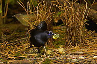 Satin Bowerbird (Ptilonorhynchus violaceus minor) male displays to a female who stands just behind his bower.  He holds a fruit in his bill...This bower is decorated with all natural objects..Rain forest of the Atherton Tablelands..Queensland, Australia
