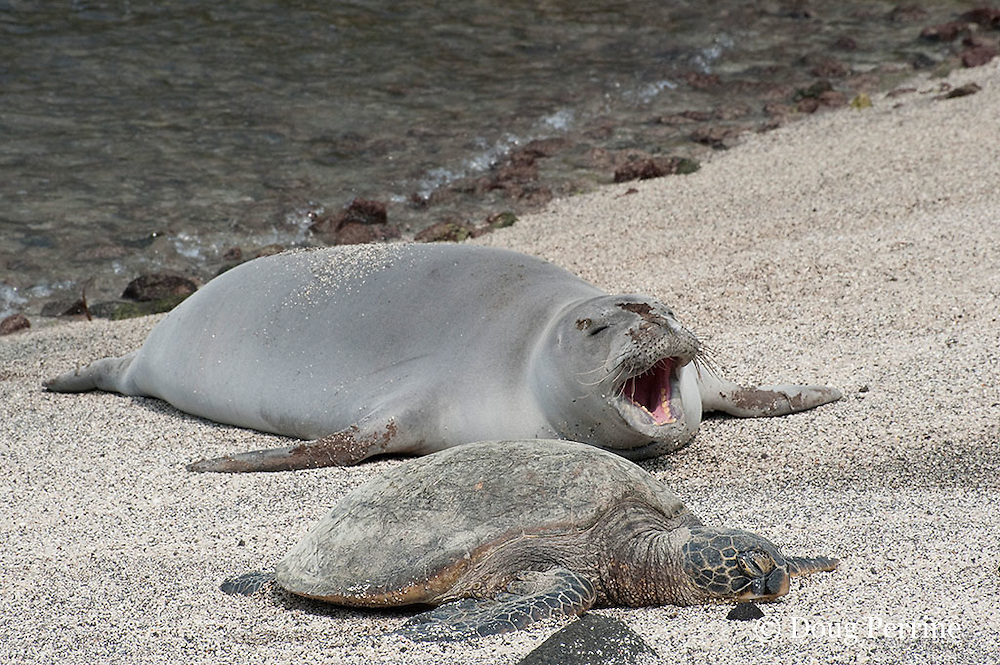 Hawaiian monk seal, Monachus schauinslandi ( Critically Endangered ), 2.5 year old male resting on beach during annual molt, along with a small green sea turtle, Chelonia mydas, beach, yawns at Pu'uhonua o Honaunau ( City of Refuge ) National Historical Park, Kona, Hawaii ( the Big Island )