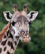 Giraffes - Twiga