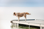 Josephine, a Saint Bernard, standing on the dock at Woods Bay public boat launch watching Rico, a gordon setter, swim to the rocks