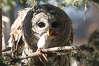 The Barred Owl at the Calgary Zoo was very active today.  It had a mouse that it was preapring to eat for lunch and it was parading around all over the place showing it off and looking for a good place to settle down to eat...©2010, Sean Phillips.http://www.Sean-Phillips.com