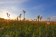 Shooting star wildflowers carpet the tallgrass prairie remnant in the old cemetary at Weston, Illinois, USA