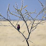 Lilac-breasted Roller, (Coracias caudatus), Etosha National Park. Namibia