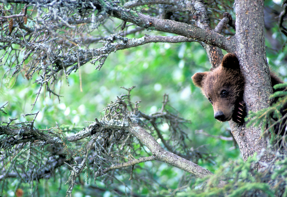 USA, Alaska, Katmai NP, Grizzly Bear cub (Ursus arctos) rests in black spruce tree while mother fishes in nearby Brooks River
