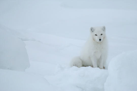Arctic Fox (Alopex lagopus)Winter fur coat phase, sitting in snow. Near Churchill, Manitoba. Canada. Winter.