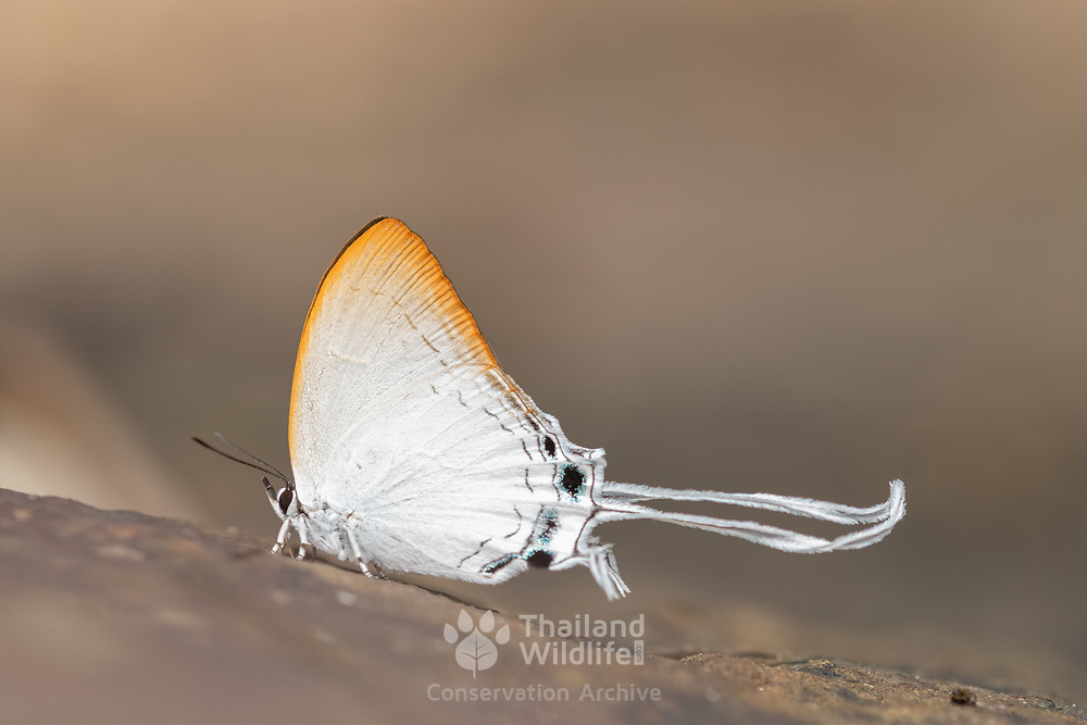 Cheritra freja, the common imperial, is a small butterfly found in India, Myanmar, Malaysia and Sri Lanka that belongs to the gossamer-winged butterflies family (Lycaenidae).