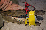 American Crocodile Research (Crocodylus acutus)<br /> Stomach pumping for parasite study<br /> San Perdo <br /> Ambergris Caye<br /> Belize,<br /> Central America