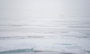 Polar bear in the fog at 81,5 degrees north, off Spitsbergen, Svaalbard in July 2012.