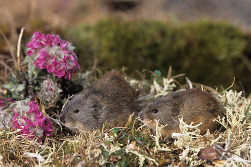 Collared Lemming (Dicrostonyx groenlandicus) pair. Barrow, Alaska.  Captive Animal.