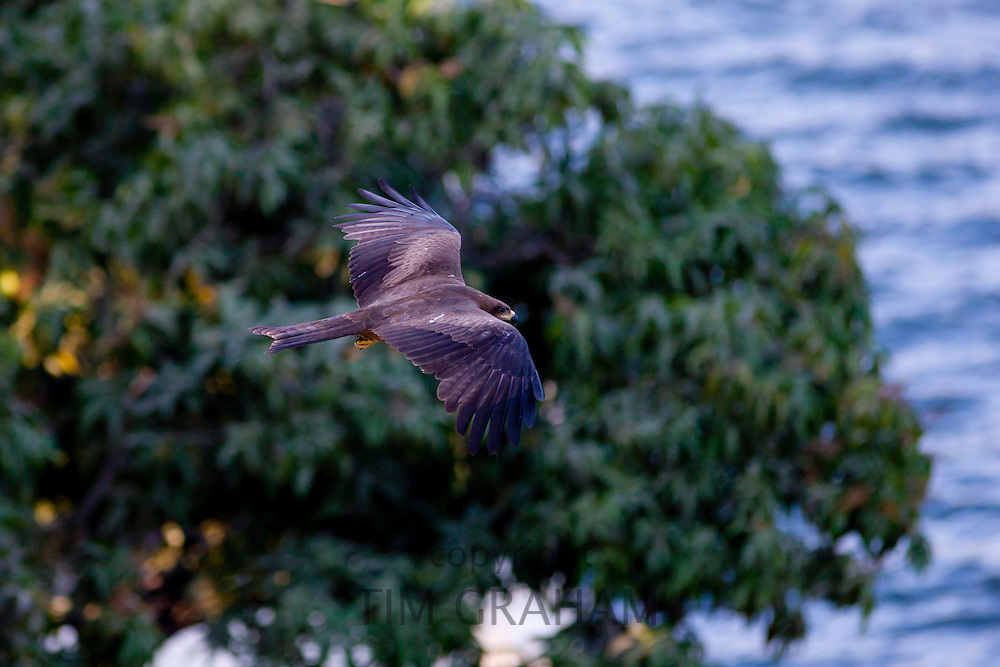 Indian Black Kite raptor bird, Milvus Migrans, above the treetops by Lake Pichola, early morning, Udaipur, Rajasthan, India