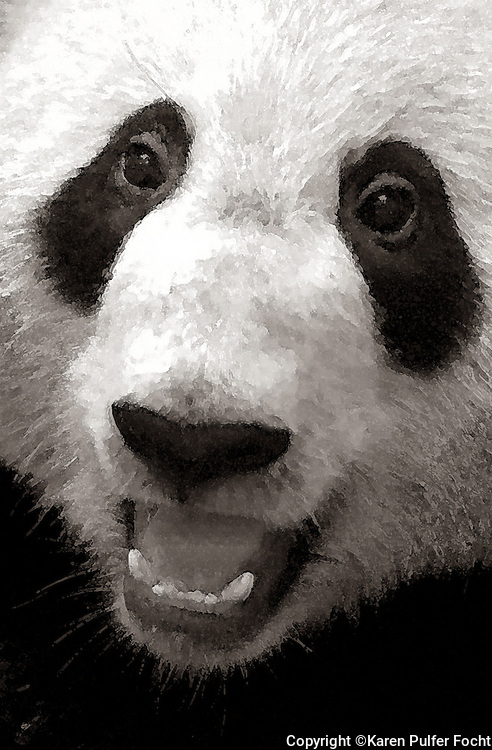 Panda Bears are one of the most popular animals at The Memphis Zoo, Memphis, Tennessee