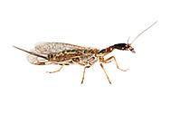 Snakefly (Agulla bicolor) - female<br /> TEXAS: Travis Co.<br /> Wild Basin Preserve; Austin<br /> 7-April-2011<br /> J.C. Abbott