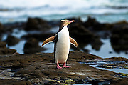 A yellow-eyed penguin dries itself after after fishing all day in the Catlins, South Island of New Zealand.