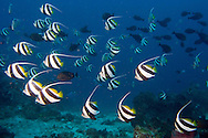 Dongala, Central Sulawesi, Indonesia, November 2010. Banner fish in at the home reef.  Being directly situated at the headland of the picturesque Bay of Palu, Central Sulawesi, Dongala is the perfect place to spend some time diving the cristal clear waters over the tropical coral reefs. Photo by Frits Meyst/Adventure4ever.com