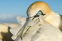 Cape Gannet with its bill tucked under its wing, Malgas Island, Western Cape, South Africa