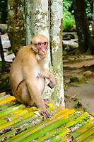 Rhesus macaque monkey, Erawan Falls, Kanchanaburi, Thailand