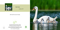 Mute Swan Cygnus olor with Cygnets Square Greeting Card with Peel and Seal White Envelope