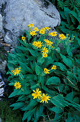 Alpine Arnica blooning on the Great Gulf Headwall in New Hampshire's White Mountains.  Mt. Washington, NH.