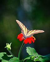 Eastern Tiger Swallowtail Butterfly on a Mexican Sunflower. Image taken with a Fuji X-T3 camera and 200 mm f/2 OIS lens