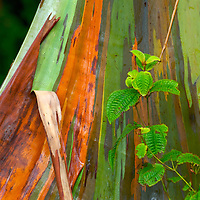 Rainbow Eucalyptus along the road to Hana, Maui.