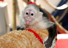 APR 25 2013 Justin Bieber's monkey about to be placed at German zoo