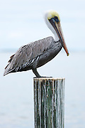 Brown Pelican, Pelecanus occidentalis, a large shorebird standing on decking at Captiva Island, Florida, USA