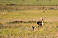 Pronghorn antelope fawns in Powder River Country, Montana, USA
