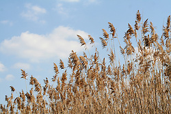 Tall brown grass blowing in wind against a blue sky